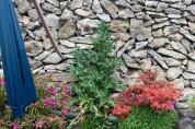 완도해경, 외딴섬 마당에 양귀비 70주를 재배한 60대 적발