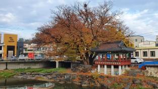 고흥천변 느티나무 수령은 대략 800년